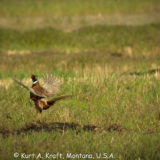 Crowing-pheasant-5.15-14