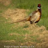 Pheasant-5.15-02