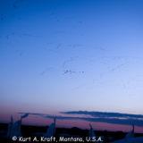 Saskatoon-9.28.13-Geese-03